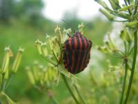 Graphosoma lineatum - Клоп линейчатый