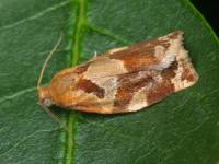 Archips xylosteana