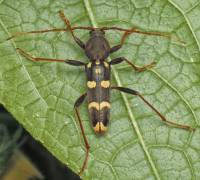 Isotomus comptus