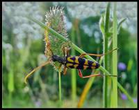 Leptura annularis