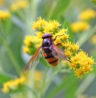 Volucella sp.