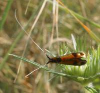 Nemophora barbatellus