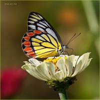 Peace_Delias-eucharis_Butterfly_Ritam